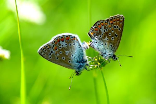 MHS twee vlindertjes op bloemstengel
